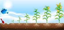 A Set Of Corn Development
