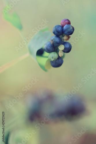 blue wild fruit