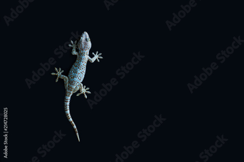 Gecko on black background.