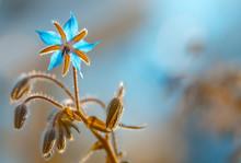 Blaue Makro Blüten Des Borret...