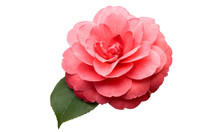 Pink Camellia Flower With Gree...