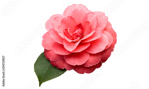 Fényképezés Pink Camellia Flower with green leaf isolated on white background