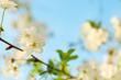 Beautiful blossoming tree outdoors, closeup