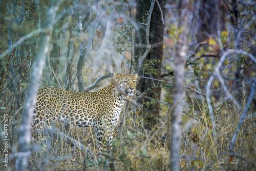 Zdjęcie XXL Lampart w Kruger parku narodowym, Południowa Afryka