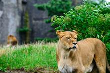 Close-up Lioness Examines The Neighborhood