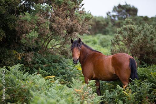Obraz na plátně new forest ponies