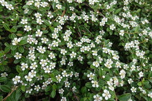 White Five Petaled Flowers Of ...