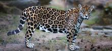 Side View On Jaguar, Panthera ...