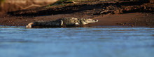 Panoramic, Over Water Surface, Low Angle View Of Huge American Crocodile, Crocodylus Acutus,  Relaxing On River Bank. Early Morning Light, Crocodile In Its Natural Environment. Tarcoles, Costa Rica.