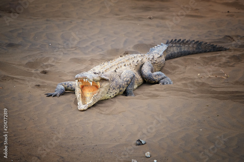 Foto op Aluminium Krokodil American Crocodile, Crocodylus acutus wit fully open mouth, showing teeths, relaxing on the sandy beach of Rio Tarcoles river. Crocodile in its natural environment. Tarcoles river, Costa Rica.