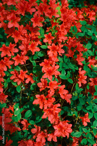 Deurstickers Azalea Red azalea bush in the garden