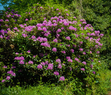 Beautiful English Pink Wild Spring Shrub Flowers Of Azalea