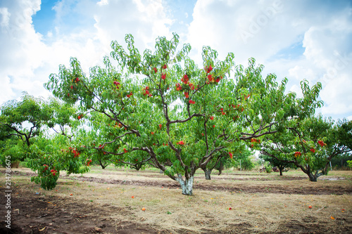 Fotografia, Obraz Peach tree with fruits growing in the garden. Peach orchard.