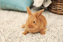 Cute Fluffy Bunny On Floor At ...