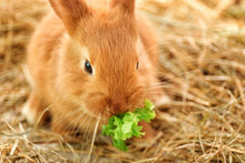 Cute Fluffy Bunny Eating Lettuce On Straw
