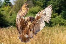 Beautiful European Eagle Owl L...