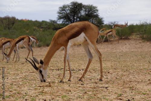 Foto op Plexiglas Antilope Springbok - Antidorcas - Kalahari - South Africa, Botsuana