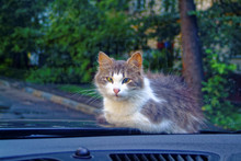Cat Lying On The Hood Of The Car