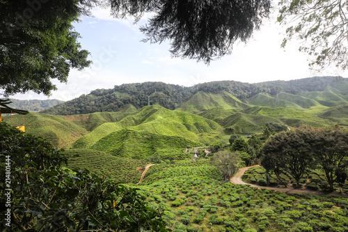 Staande foto Zwart Cameron Highland Tea Farm