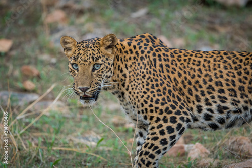 Plakat Starej Pani leopard w okolicy lasu Jhalana