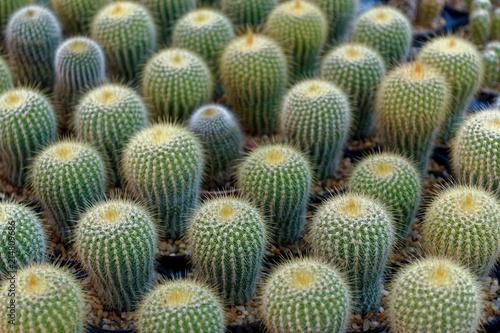 Foto op Plexiglas Cactus cactus farm for sale