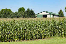 Tall Corn With Tassels In Fron...