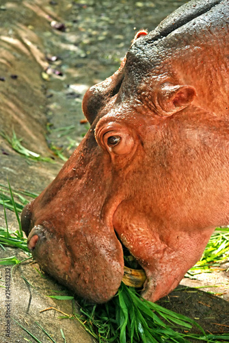 Hippopotamus grazing food