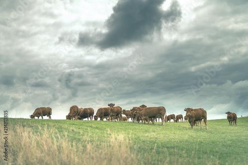 Cadres-photo bureau Vache Troupeau de vaches Limousine