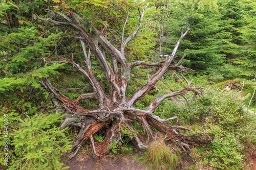 Wurzel eines umgestürzten Baums am Lotharpfad Canvas Print