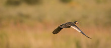 Close Up Image Of A White-faced Whistling Duck Flying In The Sky