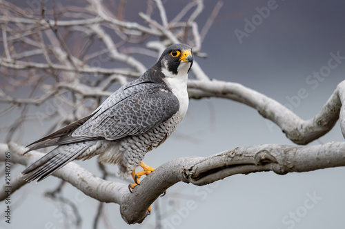 Peregrine Falcon Tablou Canvas