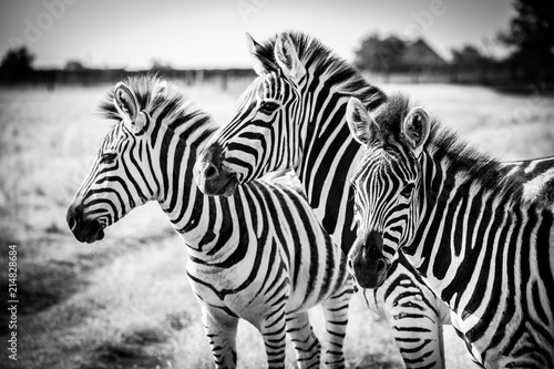 Photo Stands Zebra Three zebras