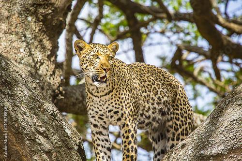 African Leopard Standing 2275