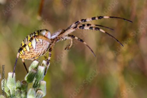 Plakat tygrys pająk