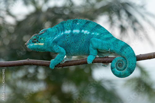 Foto op Plexiglas Kameleon Amazing chameleon on a branch. Beautiful animal, very slow movement. Typical species from tropical exotic places, forest, jungle. Can be spotted during vacation and holidays. Wonderful experience.