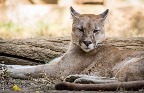 Zdjęcie XXL Jaguar / Puma (Puma concolor)