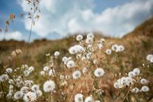 Dandelions On High Hill, Blue ...