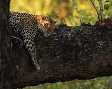 Leopard Tree Branch Zambia Afr...