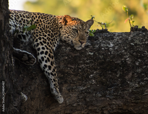 Tuinposter Luipaard Leopard tree branch zambia africa