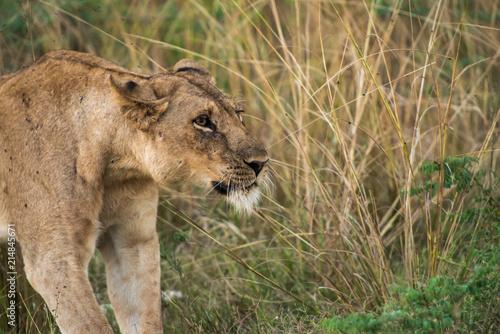 Zdjęcie XXL Lew Predator Cat South Luangwa Zambia