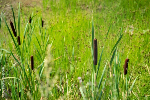 Fotografie, Obraz  the blossoming brown marsh cane with long green stalks or wild plants of reed