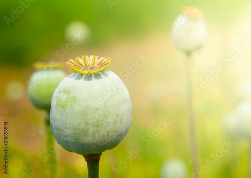 Greeen unripe poppyhead. Source plant opium drug. - 214856804
