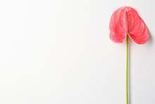 Beautiful Pink Anthurium Flower On White Background. Tropical Plant