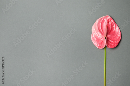 Beautiful pink anthurium flower on gray background Canvas Print