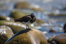 Ruddy Turnstone Bird Perched O...