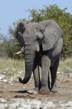 African Bush Elephant (Loxodon...