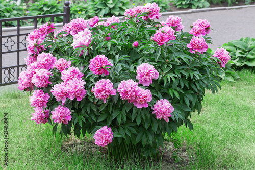 Large peony bush outside, flower bush with a lot of pink flowers