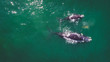 canvas print picture - Aerial view over a Southern Right Whale and her calf along the overberg coast close to Hermanus in South Africa
