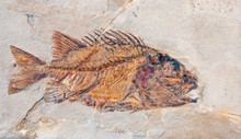Fossilized Imprint Of A Prehistoric Fish Encased In Stone.