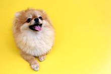 Pomeranian Dog With Yellow Backdrop.